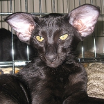Elite Black Elf ORIWENDELL CAT'S 1.0 OSH n